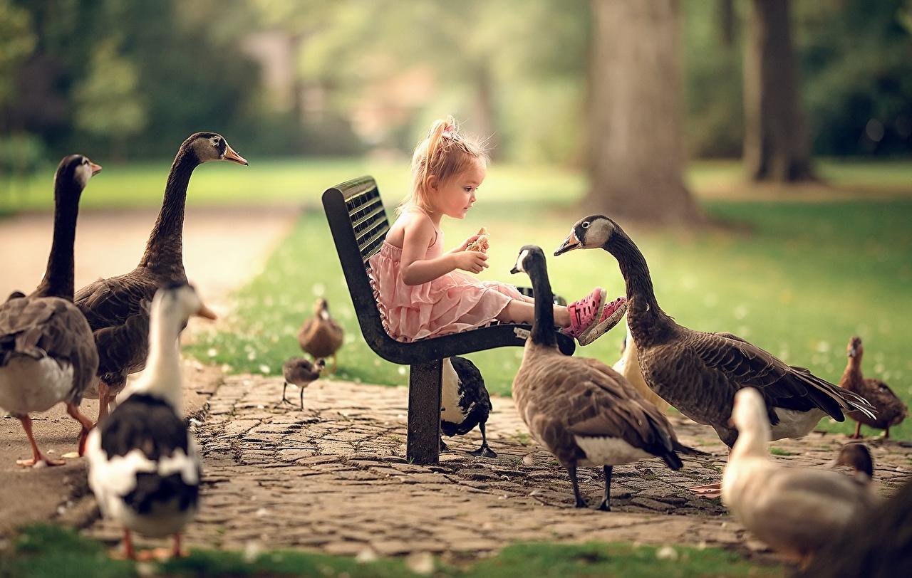 Обои для рабочего стола девочка гусь птица Дети Сидит Скамейка животное Девочки Гуси Птицы ребёнок сидя Скамья сидящие Животные