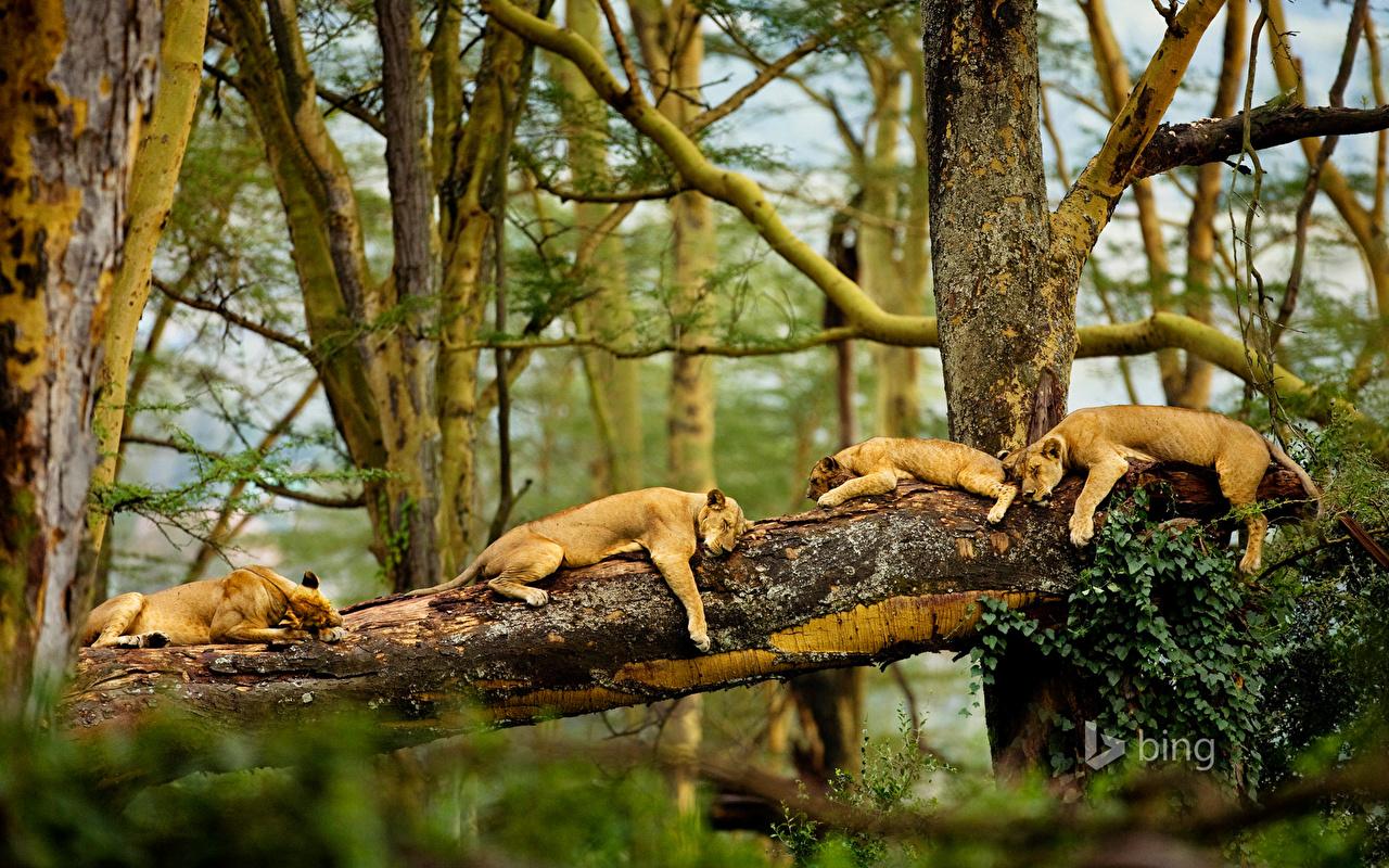 https://s1.1zoom.ru/big0/168/Lions_Sleep_Branches_450538.jpg