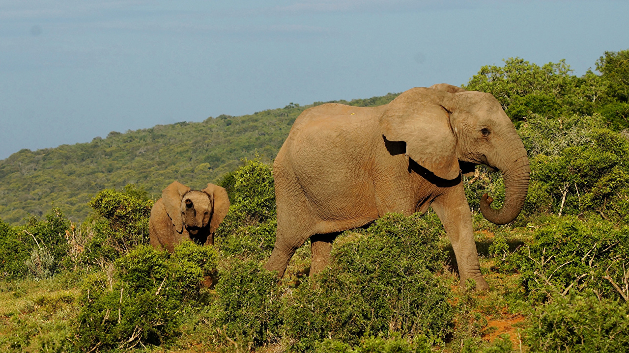 Обои Слоны Детеныши Южно-Африканская Республика Addo Elephant National Park 2 Парки Животные ЮАР Двое вдвоем
