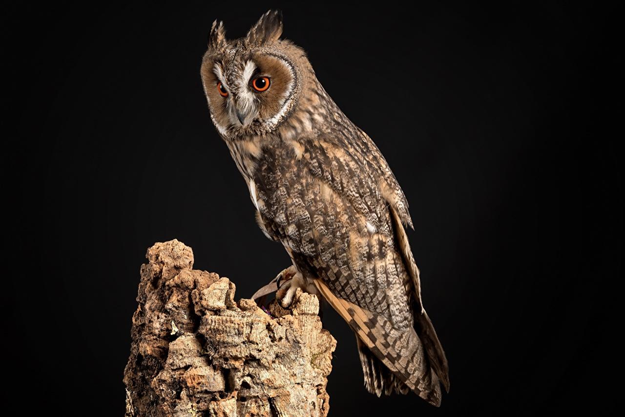 Фото сова Птицы Northern Long-Eared Owl Пень Животные Черный фон совы птица Совообразные пне животное на черном фоне