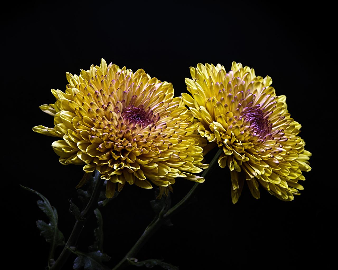Фото Двое цветок Хризантемы вблизи на черном фоне 2 два две вдвоем Цветы Черный фон Крупным планом