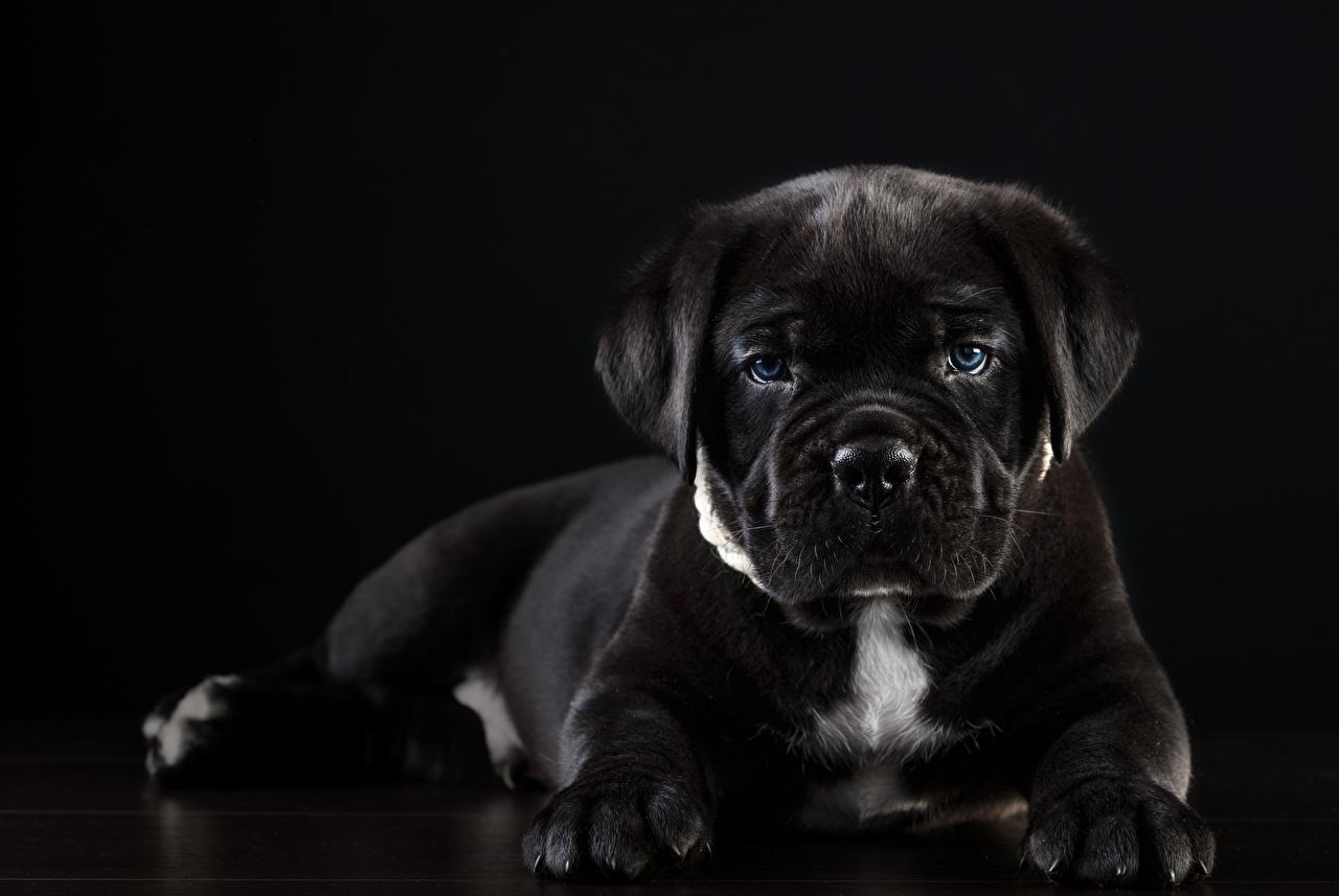 Фотографии Кане корсо Собаки черная Животные на черном фоне собака черных черные Черный животное Черный фон