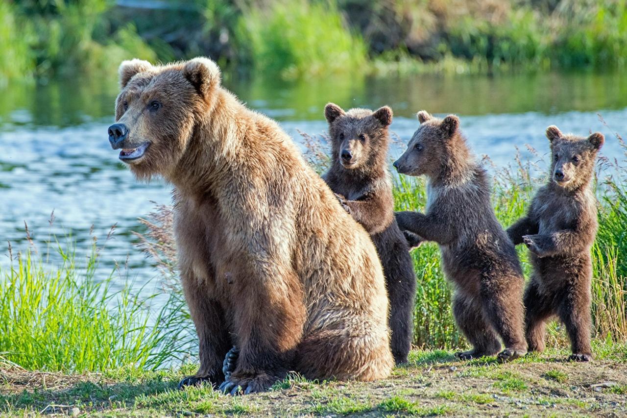 Обои для рабочего стола Бурые Медведи Медведи Детеныши Четыре 4 Животные Гризли медведь животное