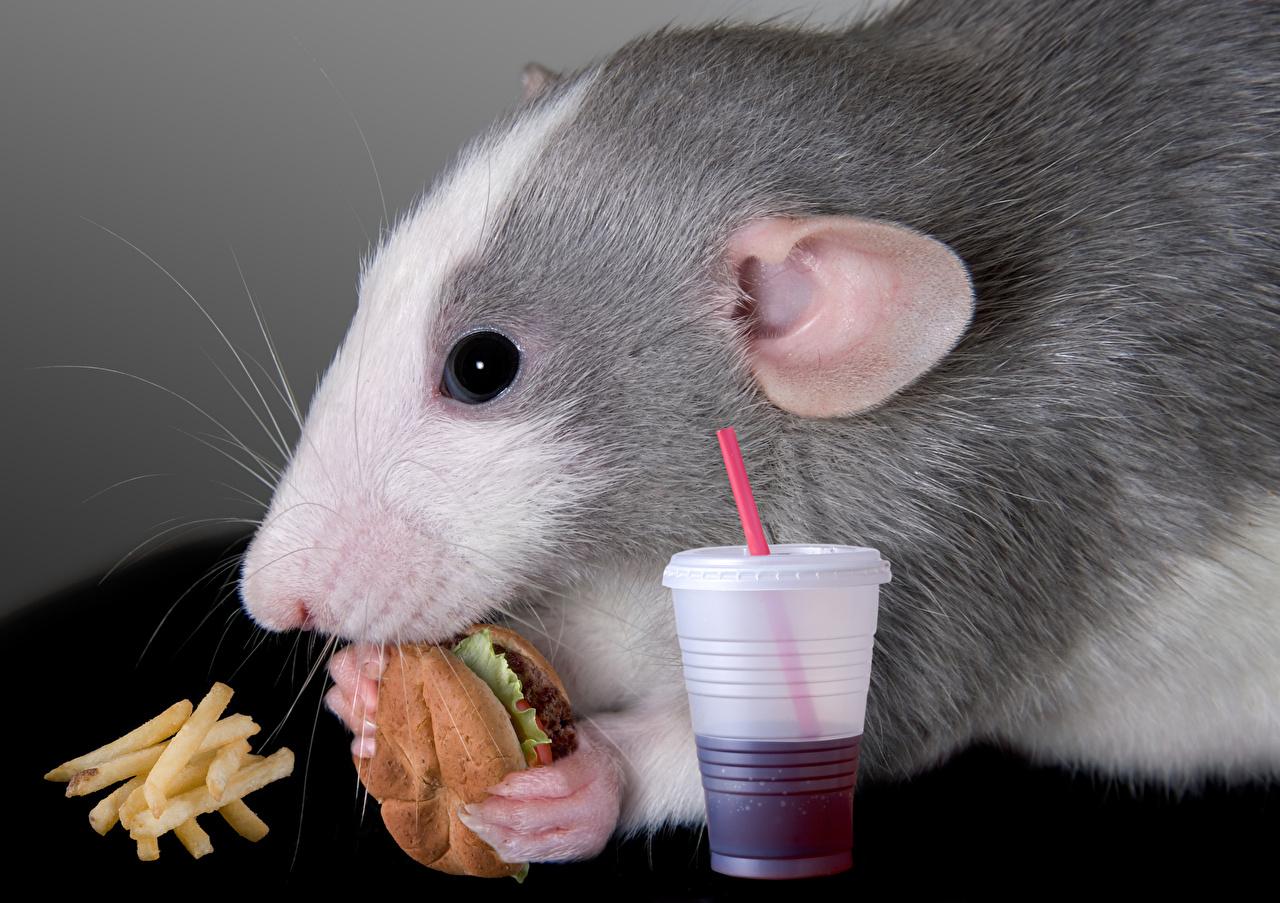 Фотография Мыши Грызуны Гамбургер Картофель фри Стакан Быстрое питание Морда Животные Фастфуд