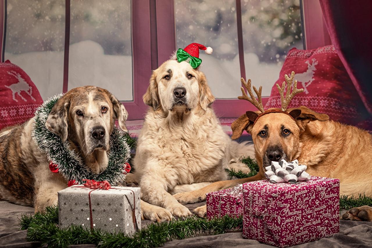 Картинки Ретривер Собаки Новый год Рога Лежит подарков три животное ретривера собака Рождество с рогами лежа лежат лежачие подарок Подарки Трое 3 втроем Животные