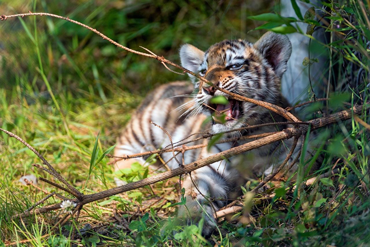 Фотография Тигры Детеныши Ветки Животные ветвь ветка на ветке
