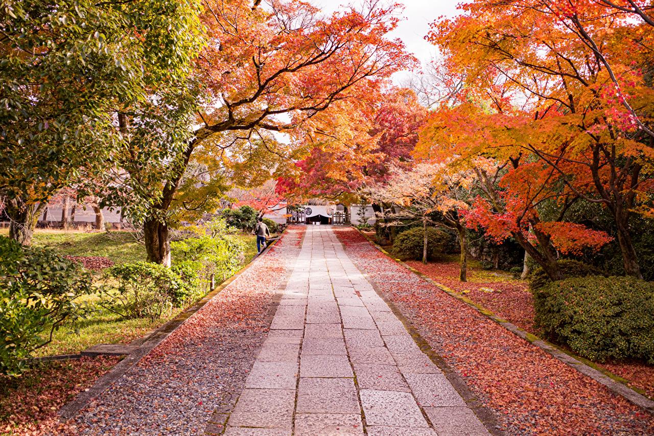 Обои для рабочего стола Киото лист Япония Аллея осенние Природа Парки дерева кустов Листва Листья Осень аллеи парк Кусты дерево Деревья деревьев