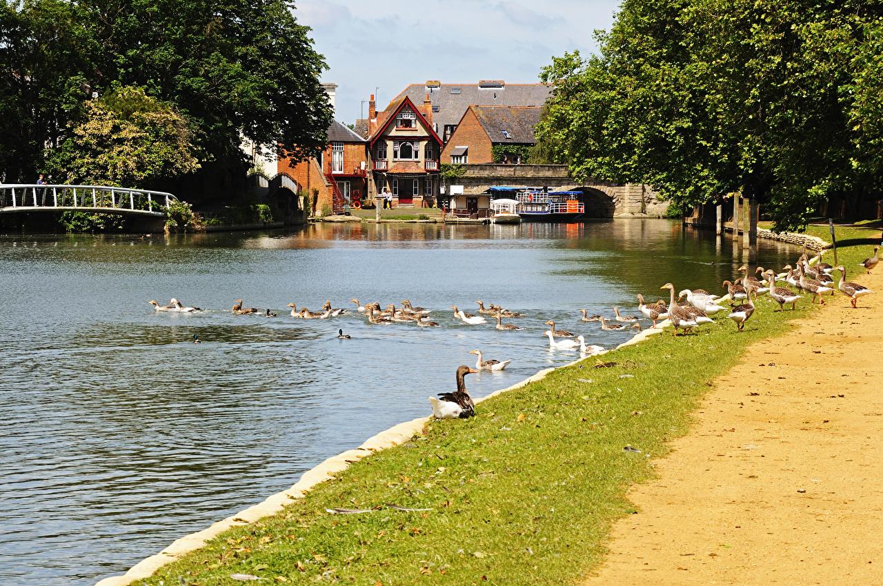 Картинка Утки Англия Oxford Oxfordshire речка Причалы Дома Города Реки река Пирсы Пристань город Здания