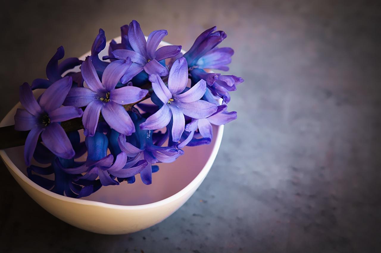 Обои для рабочего стола фиолетовых цветок Гиацинты вблизи Фиолетовый фиолетовые фиолетовая Цветы Крупным планом