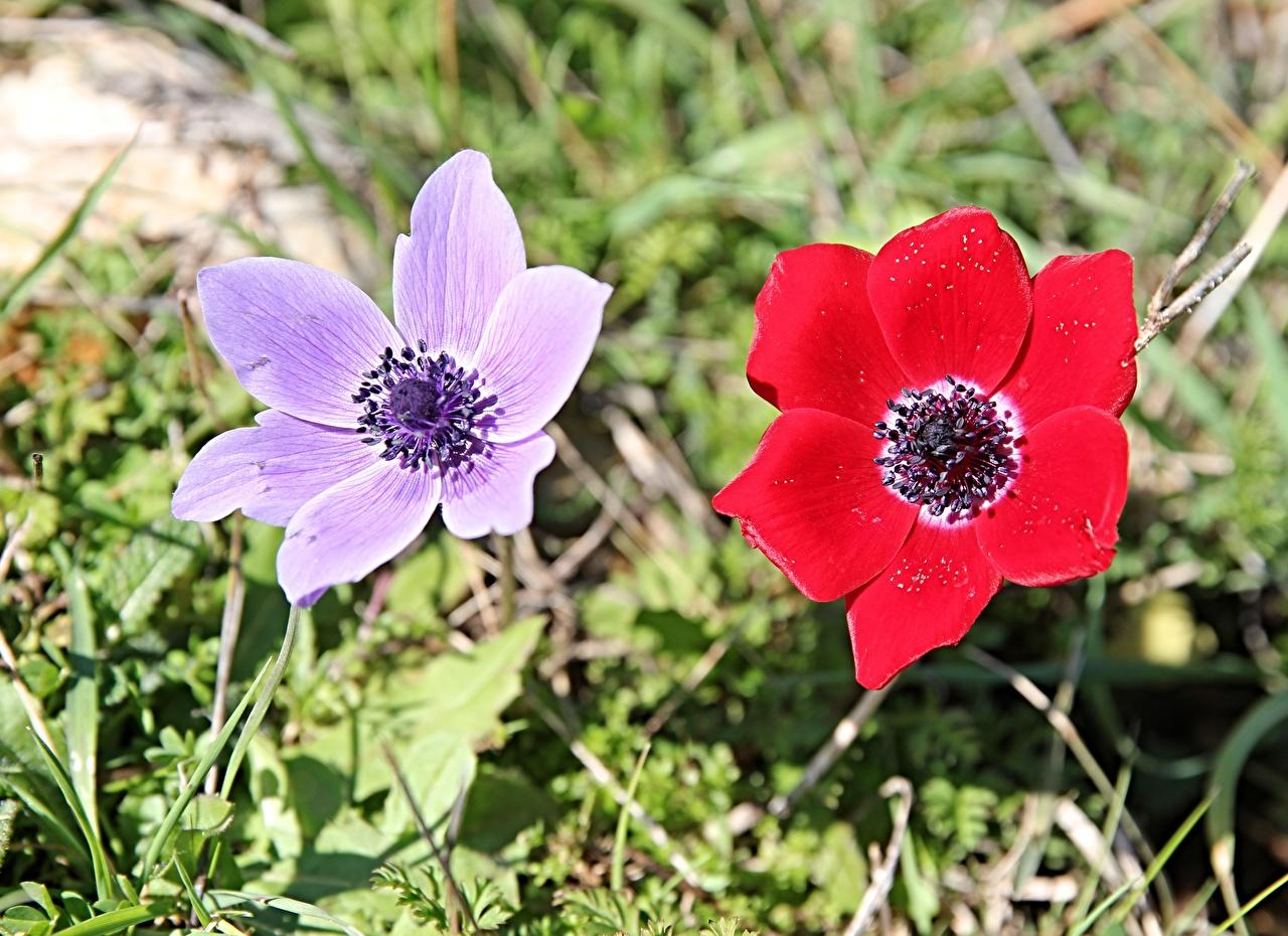 Картинка Двое красных фиолетовая Цветы траве Ветреница 2 два две вдвоем красная красные Красный Фиолетовый фиолетовые фиолетовых цветок Трава Анемоны
