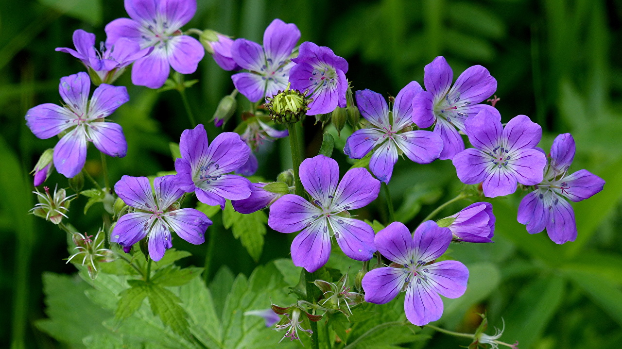 Картинка Фиолетовый цветок журавельник вблизи фиолетовая фиолетовые фиолетовых Цветы Герань Крупным планом