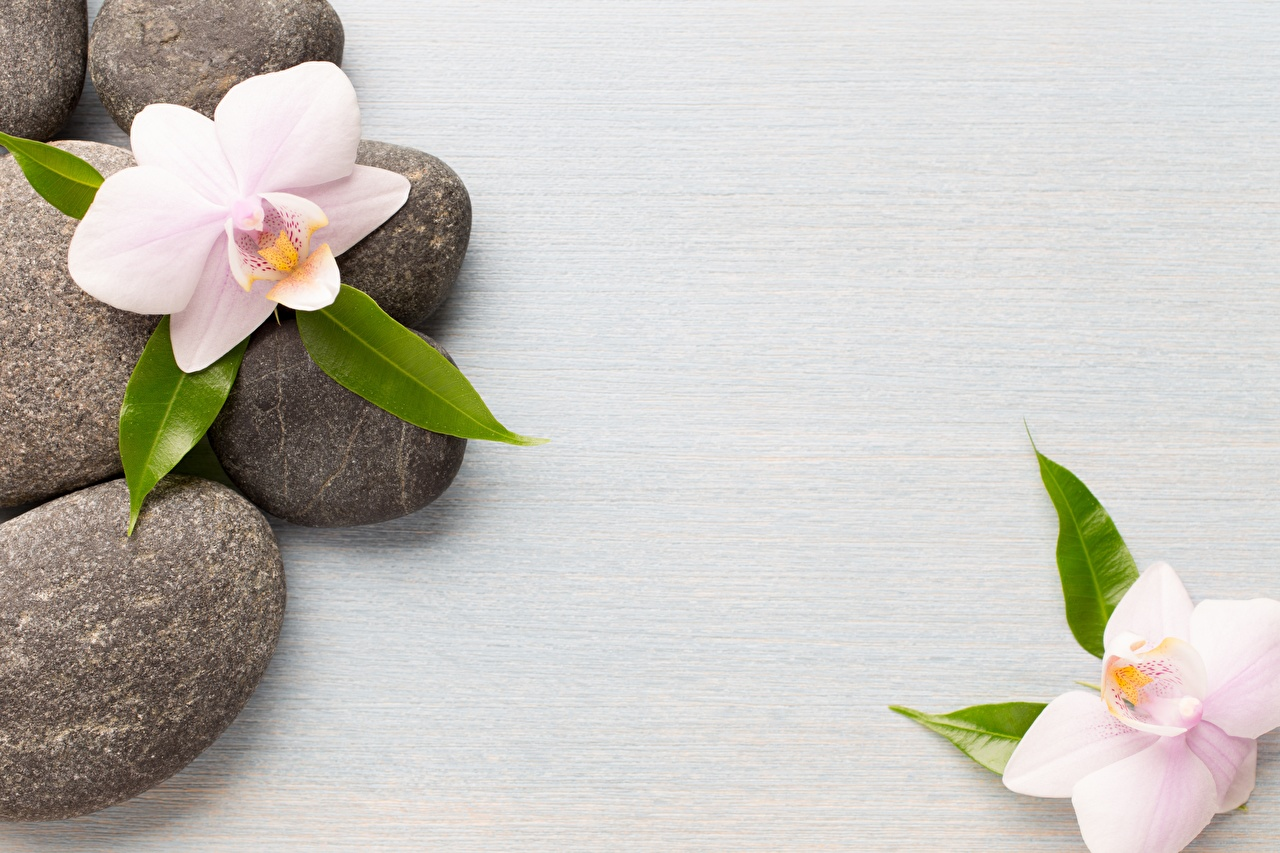 Картинки физиотерапия Герберы Цветы Камень Спа гербера цветок Камни