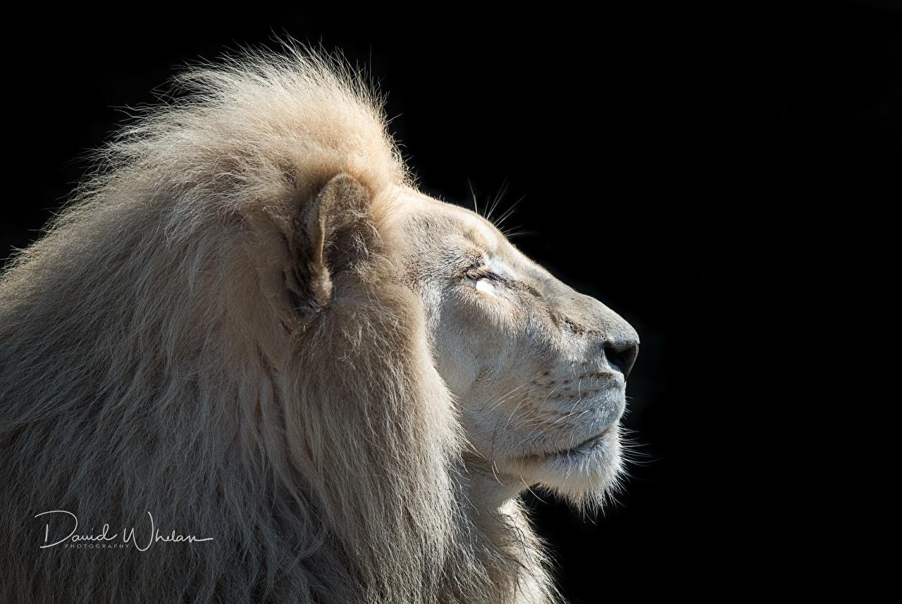 Картинка лев Белый Голова Животные на черном фоне Львы белых белые белая головы животное Черный фон