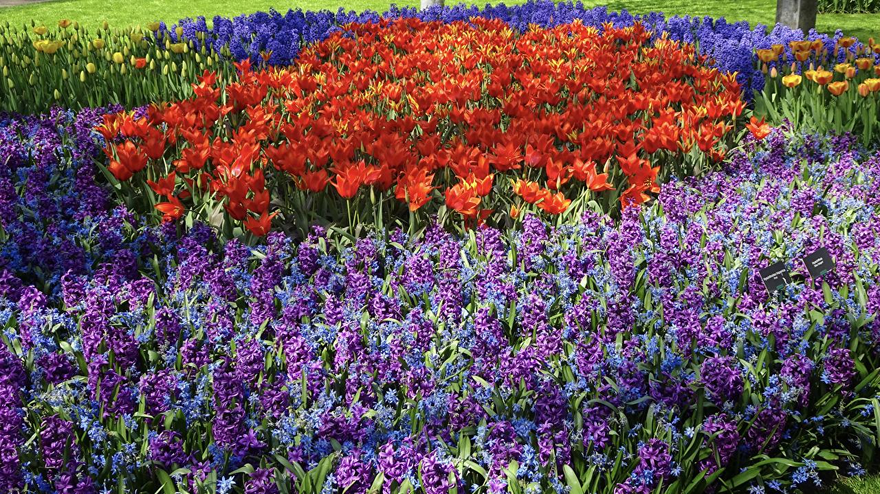 Фотографии Тюльпаны цветок Гиацинты Много тюльпан Цветы