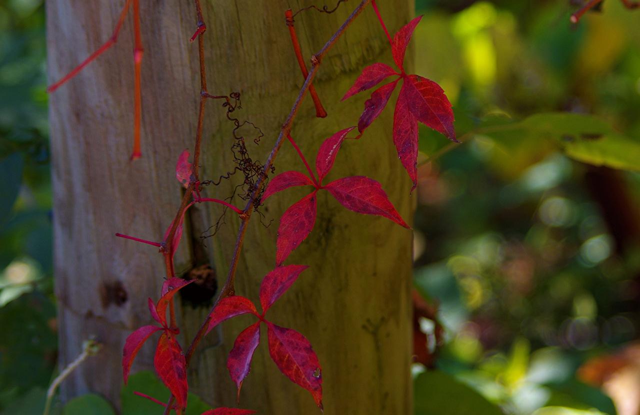 Фотографии лист ivy Природа Крупным планом Листва Листья вблизи