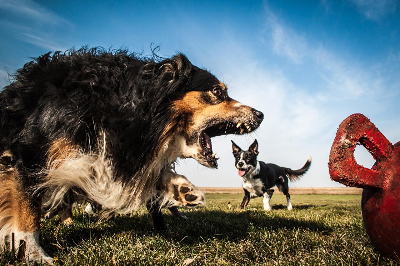 Фото Бордер-колли Австралийская овчарка Собаки Оскал Животные злость