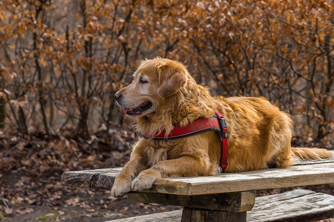 Картинки Золотистый ретривер Собаки лежа Стол животное собака Лежит лежат лежачие стола столы Животные