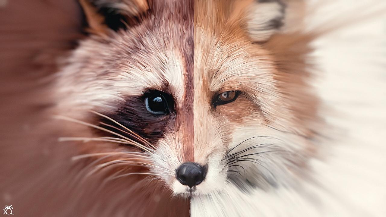 Фото Лисы Еноты Усы Вибриссы Морда Животные Рисованные Лисица морды животное