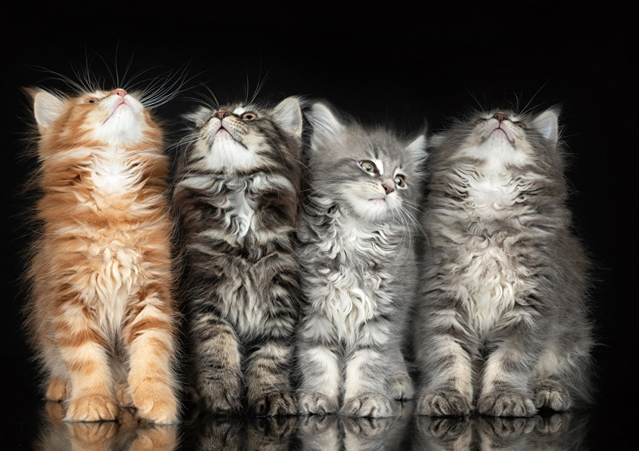 Картинка Кошки Четыре 4 Пушистый Животные Черный фон кот коты кошка пушистые пушистая животное на черном фоне