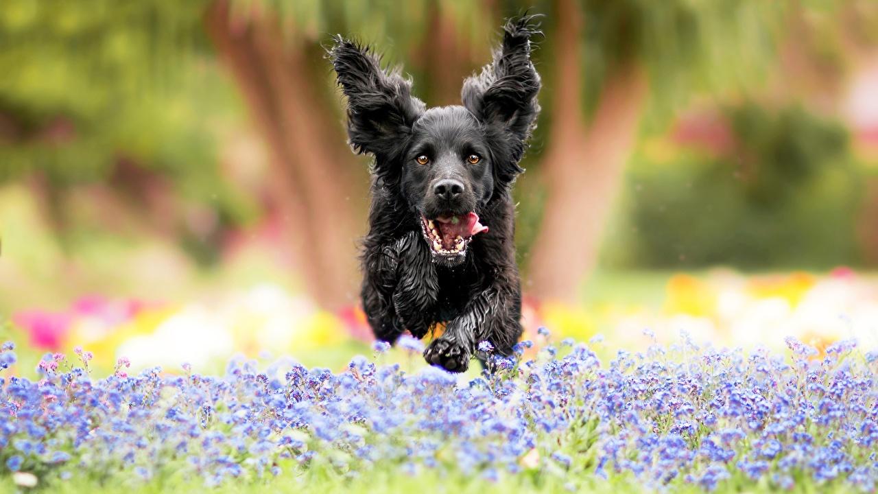 Картинка собака бегущий боке Прыжок Спереди животное Собаки Бег бежит бегущая Размытый фон прыгает прыгать в прыжке Животные