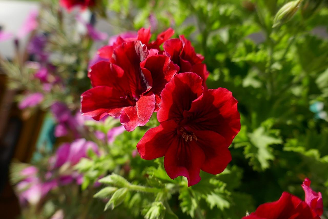 Фотографии Красный Цветы Герань Крупным планом красных красные красная цветок журавельник вблизи
