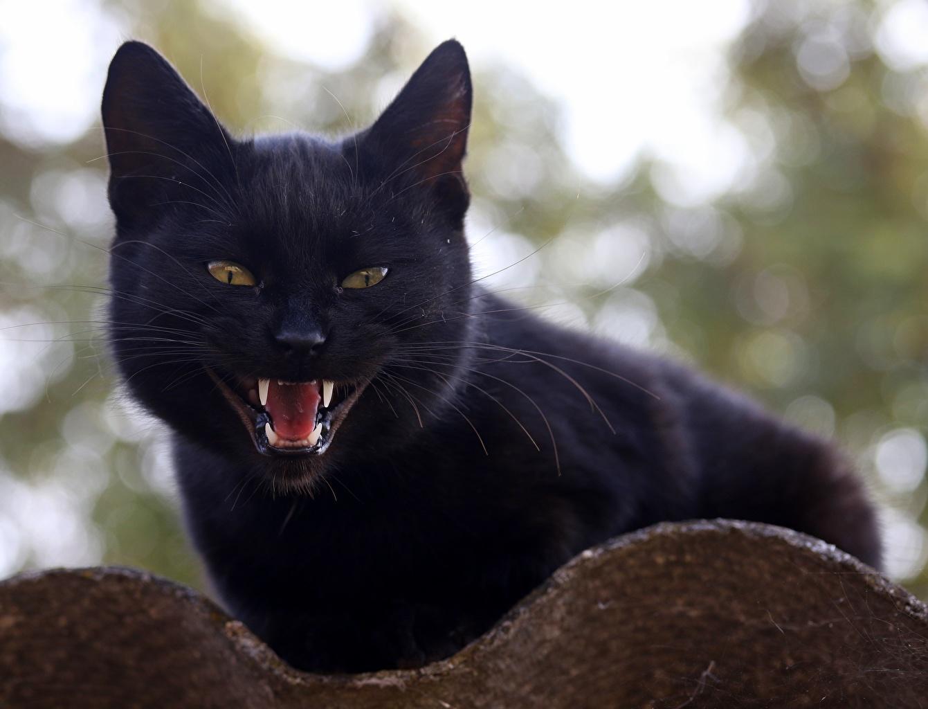 Фото Кошки Клыки черная Взгляд животное кот коты кошка черных черные Черный смотрит смотрят Животные