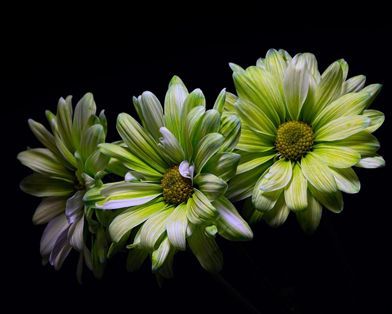 Фото зеленая Цветы Хризантемы Трое 3 на черном фоне Крупным планом Зеленый зеленые зеленых цветок три втроем вблизи Черный фон