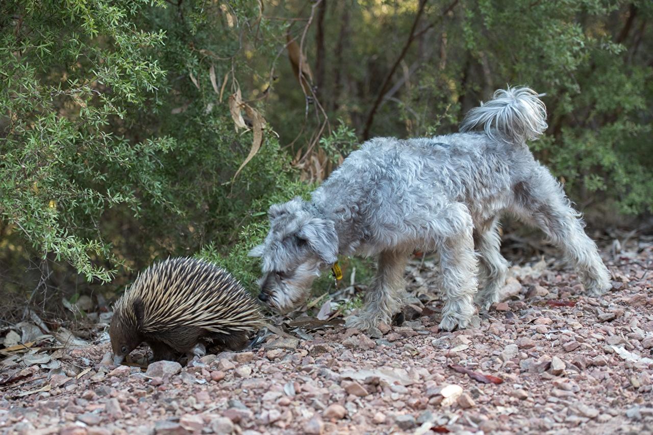 Картинки собака Irish Wolfhound Miniature Schnauzer, Echidna две Камень Животные Собаки 2 два Двое вдвоем Камни животное