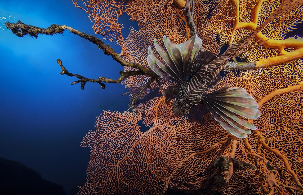 Фотография Крылатки Рыбы Подводный мир Животные крылатка животное
