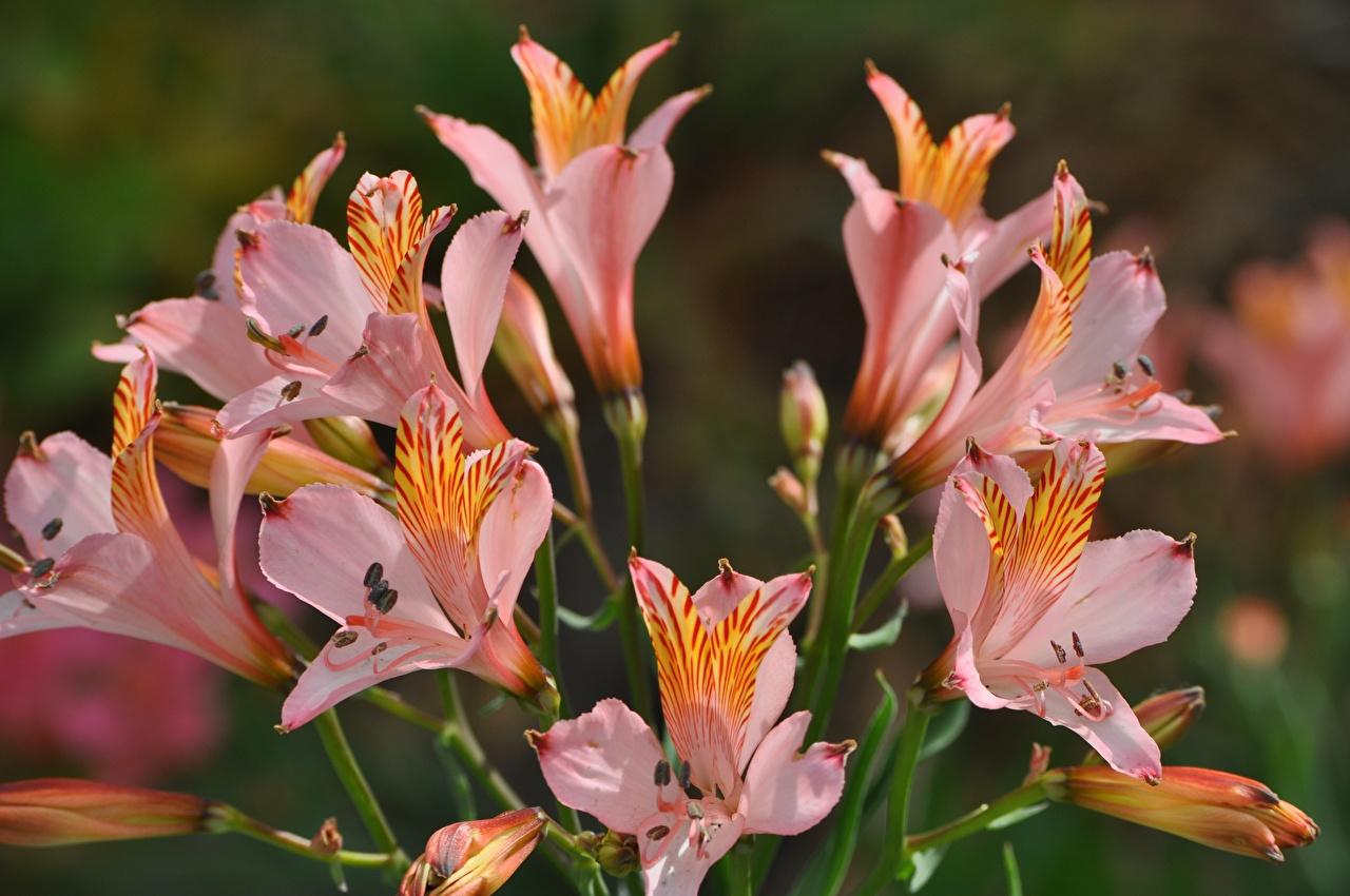 Фотографии Цветы Альстрёмерия вблизи Крупным планом