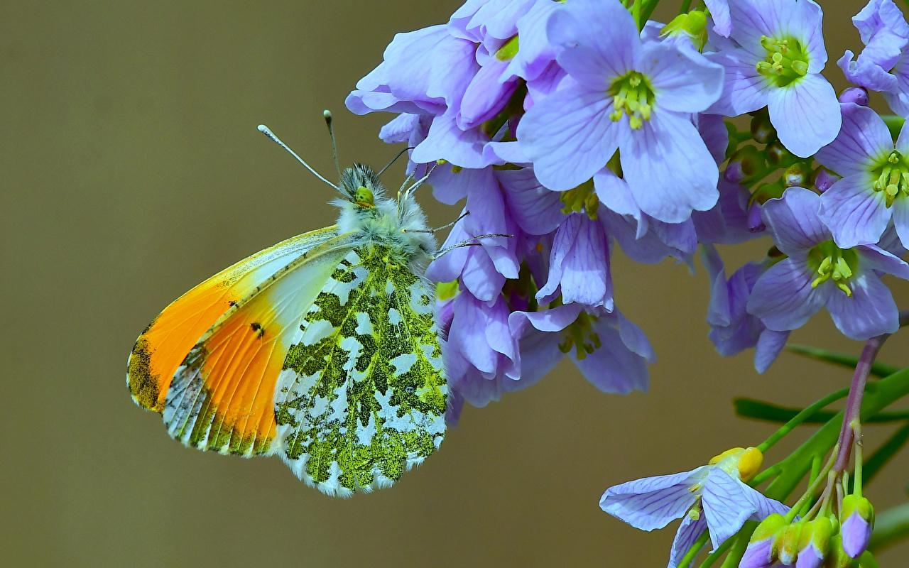 Фото бабочка Насекомые anthocharis cardamines Животные Крупным планом Бабочки насекомое вблизи животное