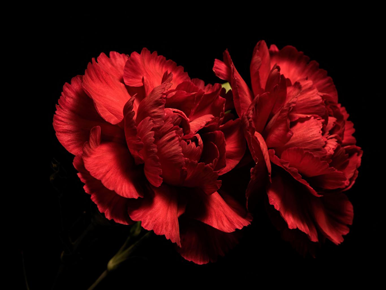 Фотографии Двое Красный Цветы Гвоздики Черный фон Крупным планом