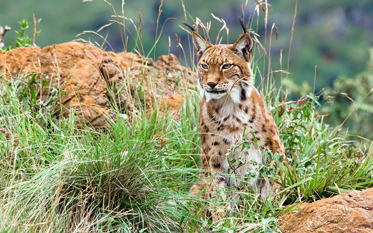 Картинка рысь Большие кошки Трава смотрит Животные Рыси траве Взгляд смотрят животное
