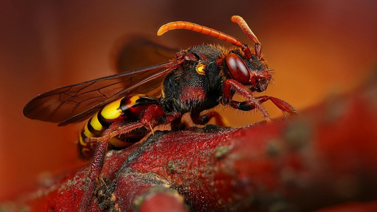Фотографии Шершень Насекомые Макросъёмка вблизи Животные насекомое Макро животное Крупным планом