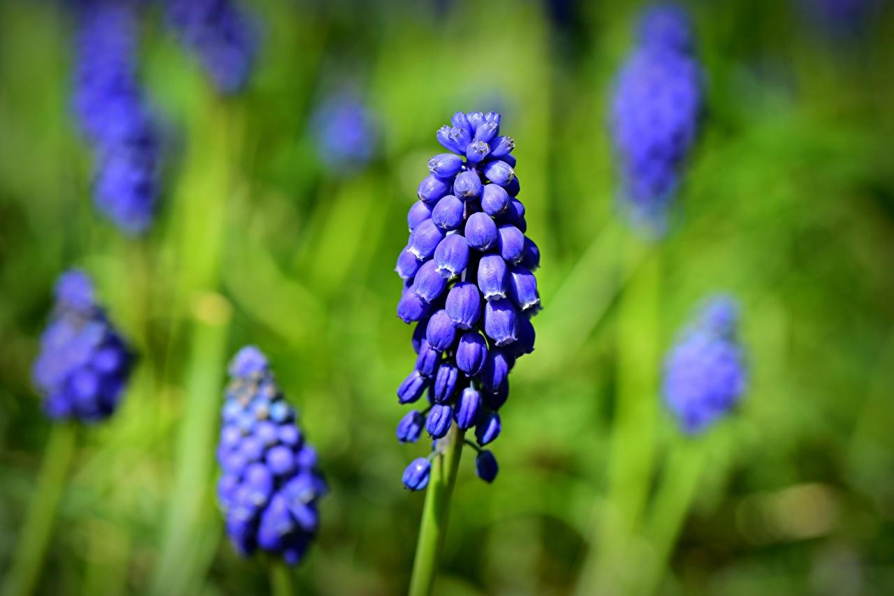 Фотографии Размытый фон синие цветок Крупным планом боке синяя Синий синих Цветы вблизи