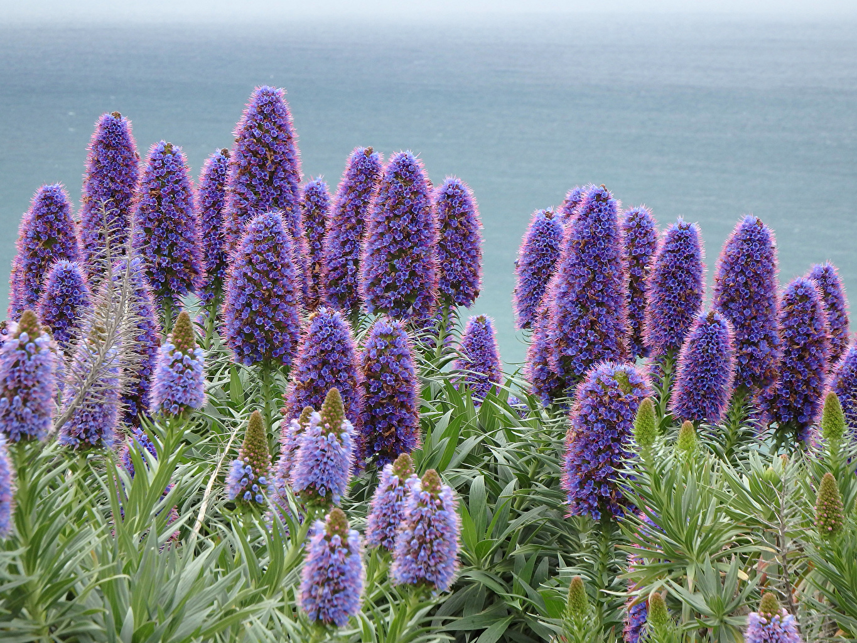Картинки Echiums фиолетовых Цветы Крупным планом фиолетовая фиолетовые Фиолетовый цветок вблизи