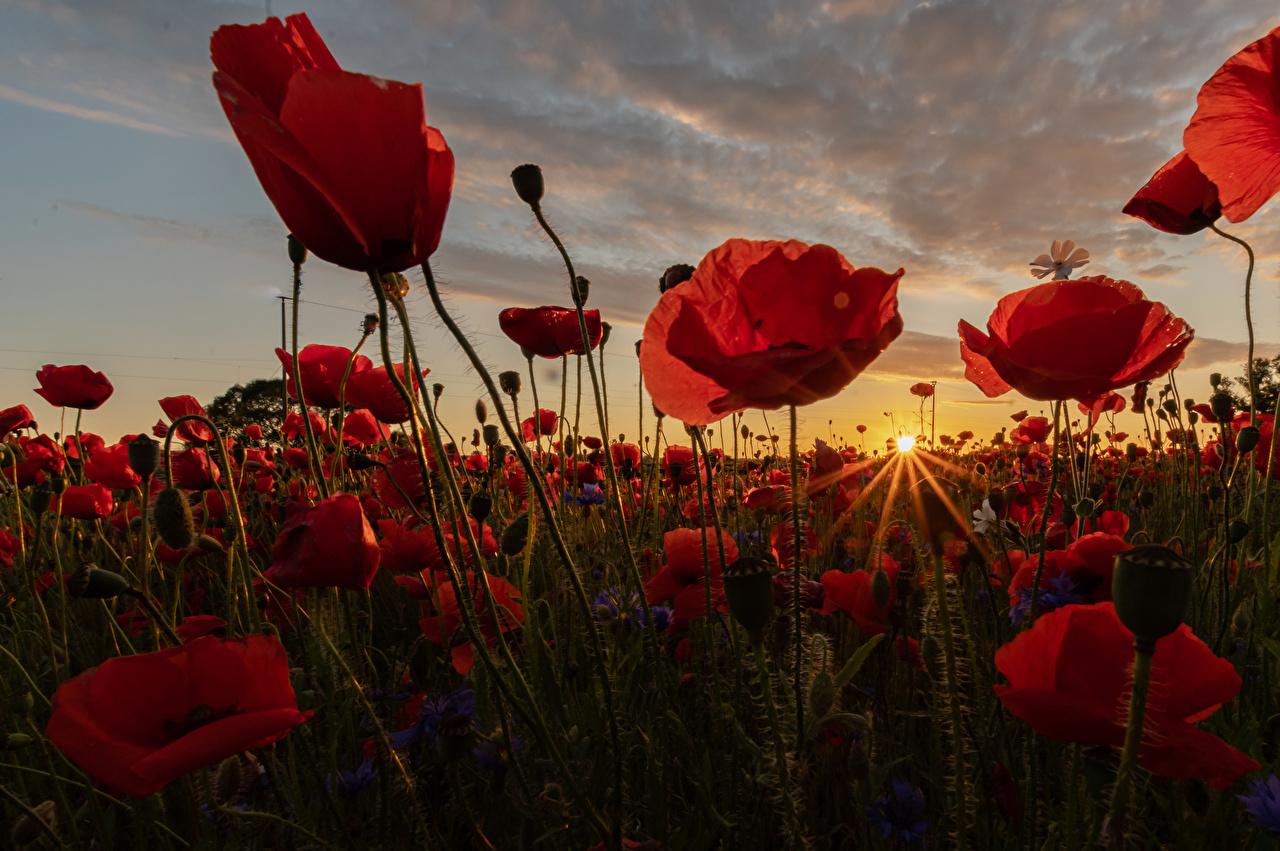 Обои для рабочего стола Лучи света Солнце Природа Маки Поля цветок Рассветы и закаты Много вблизи солнца мак Цветы рассвет и закат Крупным планом