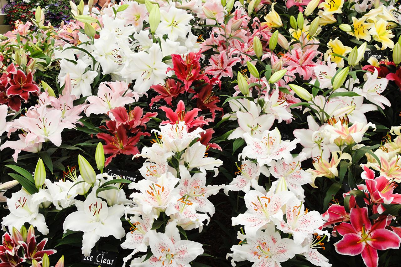 Обои для рабочего стола Лилии цветок Бутон Много лилия Цветы