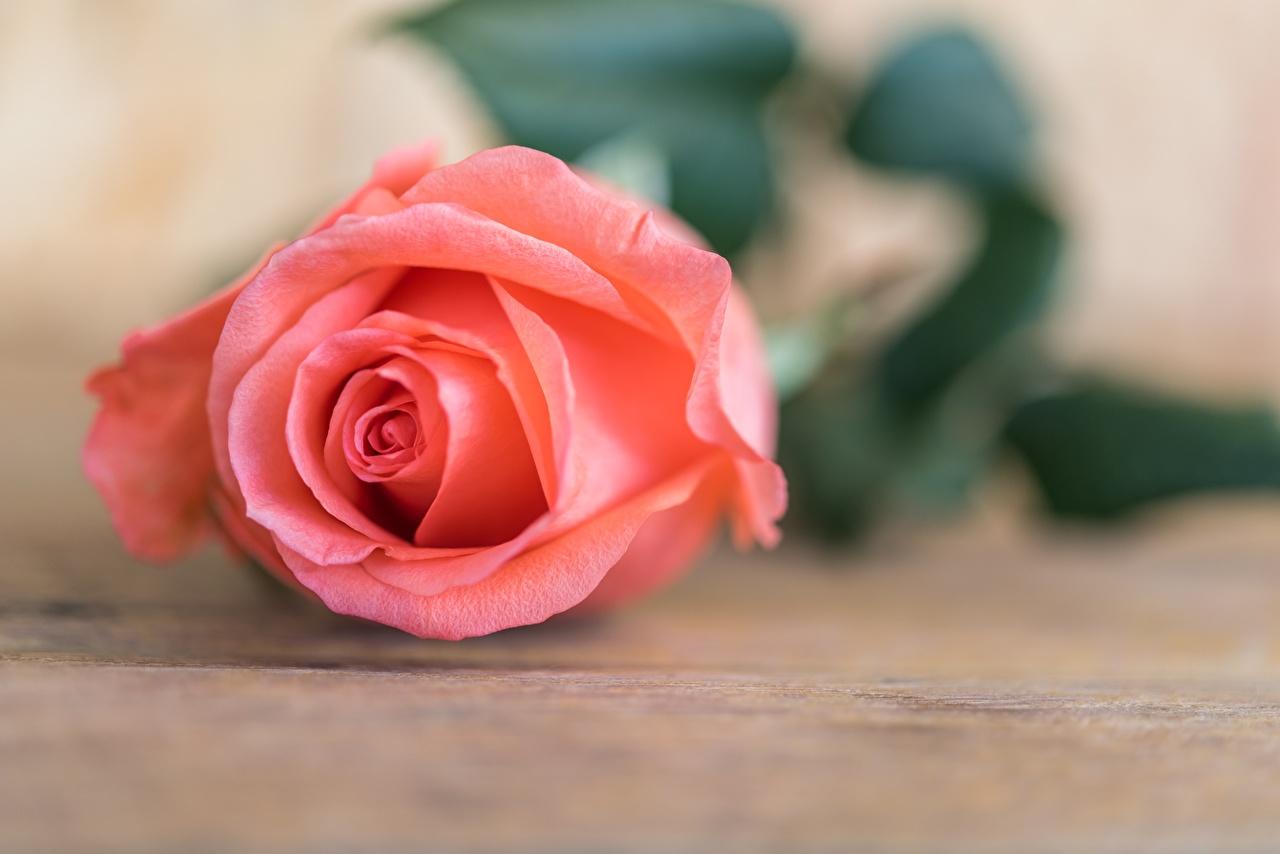 Обои для рабочего стола Розы розовые Цветы Крупным планом роза розовая Розовый розовых цветок вблизи