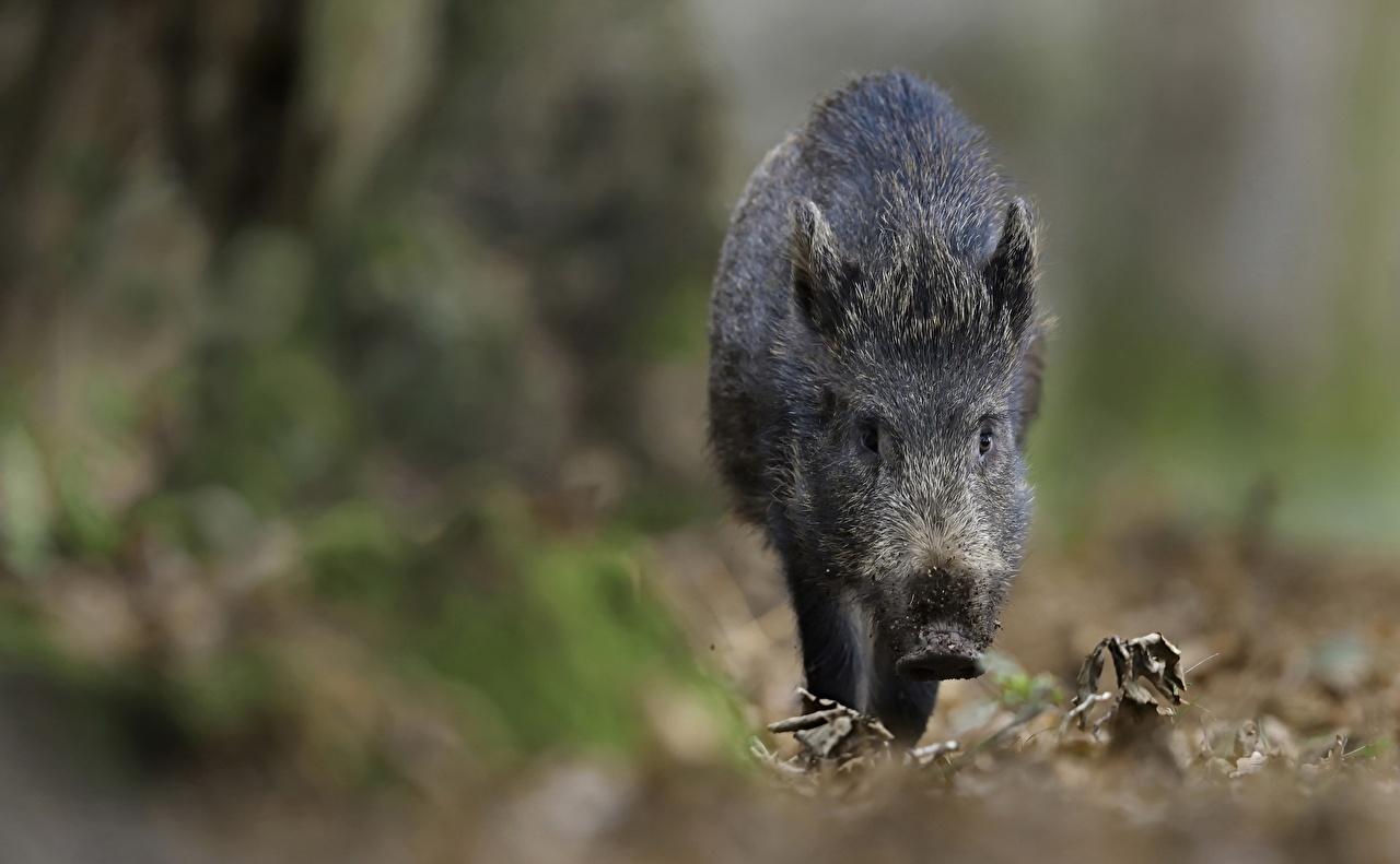Фото Кабан боке животное дикая свинья Размытый фон Животные
