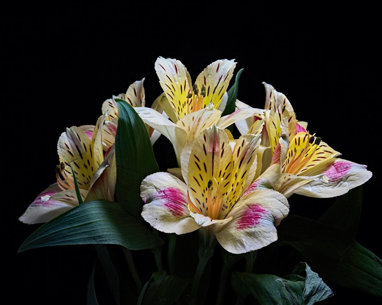 Фотографии Цветы Альстрёмерия Черный фон Крупным планом цветок вблизи на черном фоне