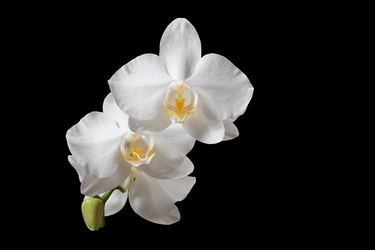 Фотографии белая Орхидеи цветок на черном фоне Крупным планом белых белые Белый Цветы вблизи Черный фон