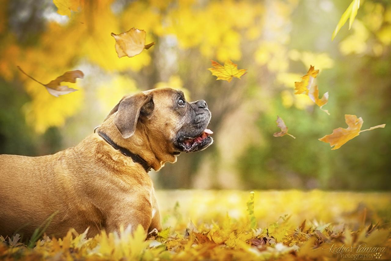 Картинки боксера собака Листья боке осенние Животные Боксер Собаки лист Листва Размытый фон Осень животное