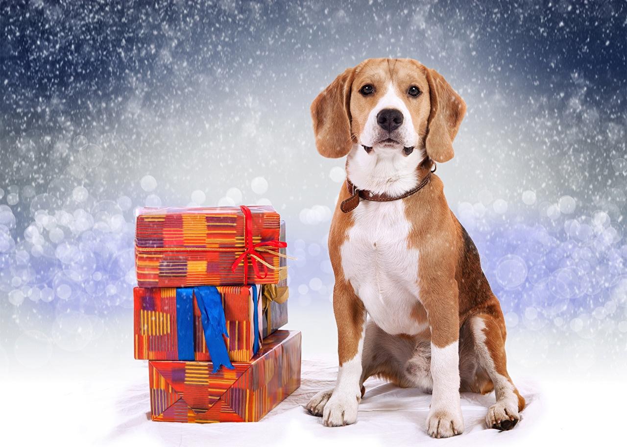 Фотография бигля Собаки Рождество Подарки Животные Бигль собака Новый год подарок подарков животное