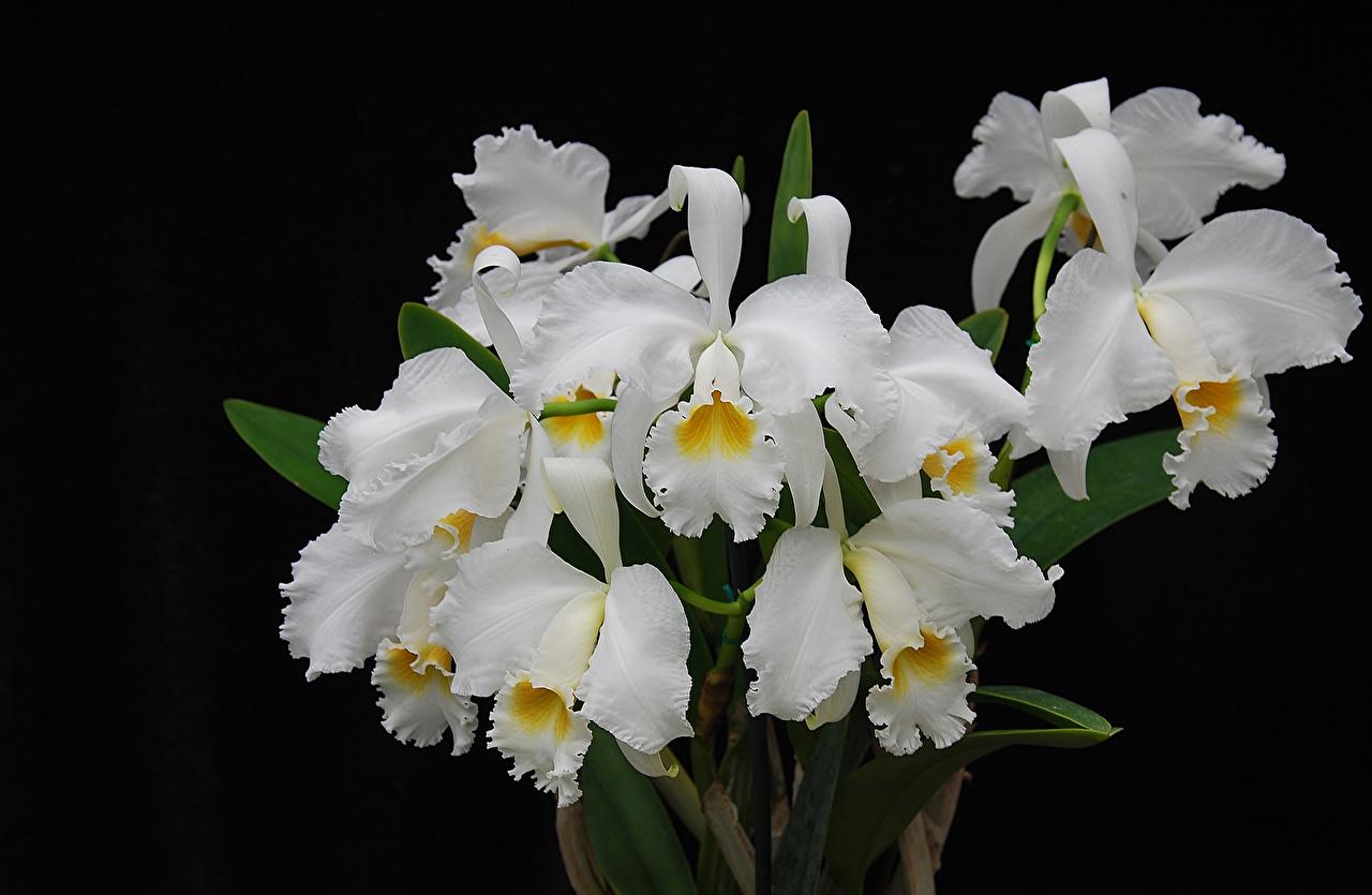 Фотографии белая орхидея Цветы вблизи на черном фоне белые Белый белых Орхидеи цветок Черный фон Крупным планом