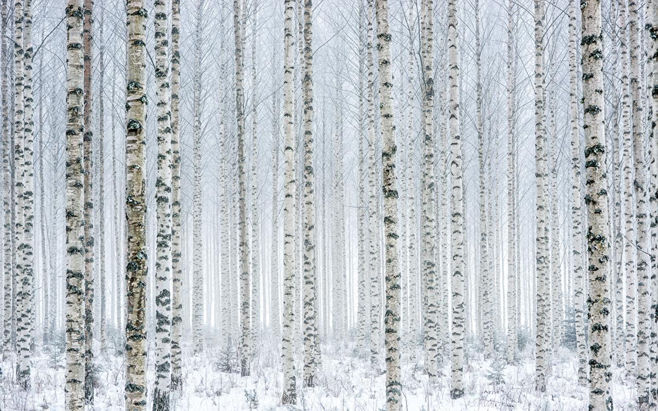 Картинки Березы Природа Снег Ствол дерева Много Деревья