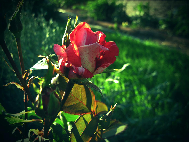 Фотографии Розы Цветы вблизи цветок Крупным планом