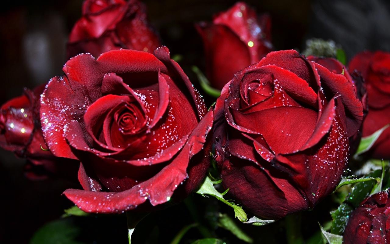 Фото Розы красных Цветы Крупным планом роза Красный красная красные цветок вблизи