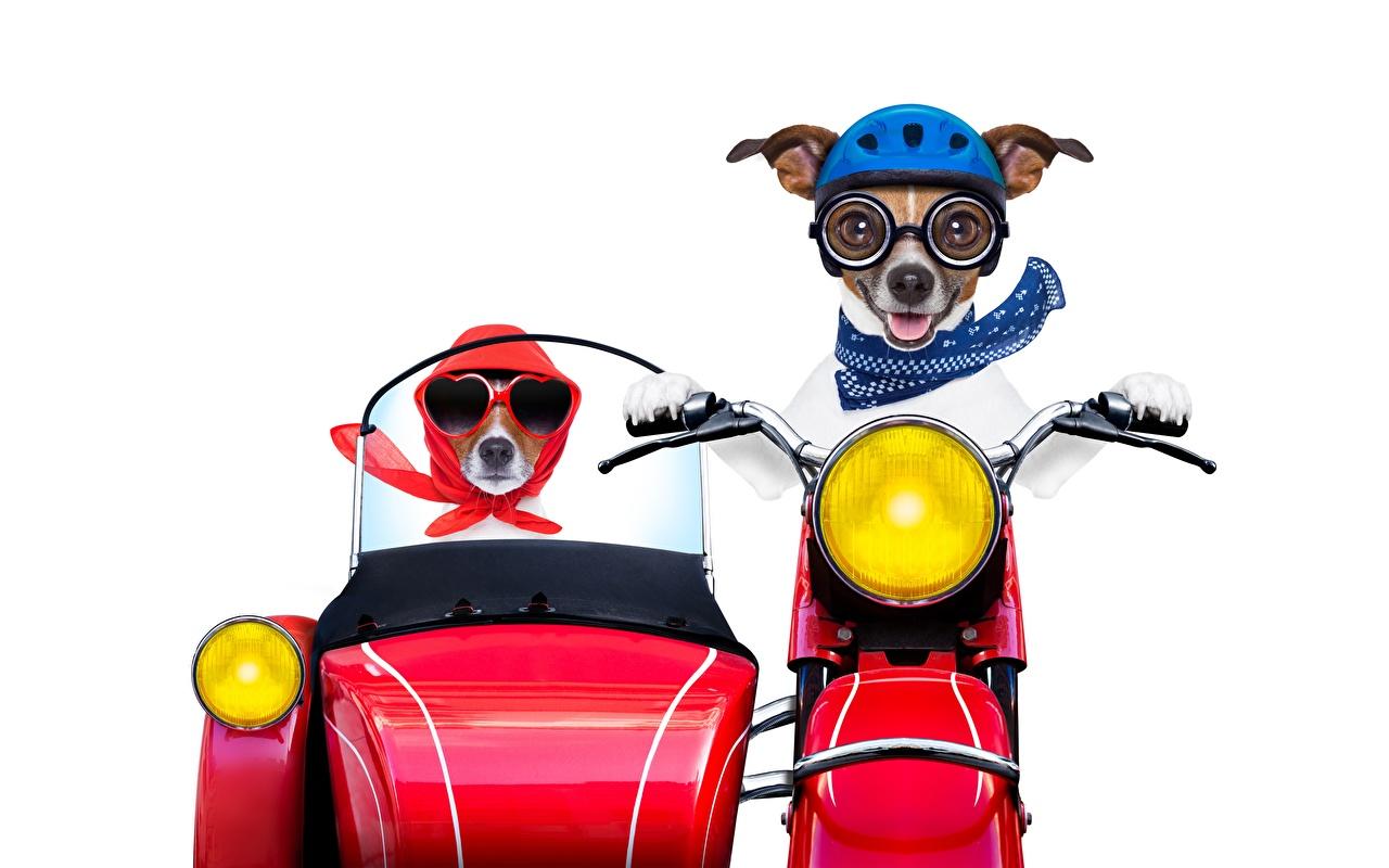 Картинки Джек-рассел-терьер Собаки шлема смешной Мотоциклист Животные Белый фон собака Шлем в шлеме Смешные смешная забавные животное белом фоне белым фоном
