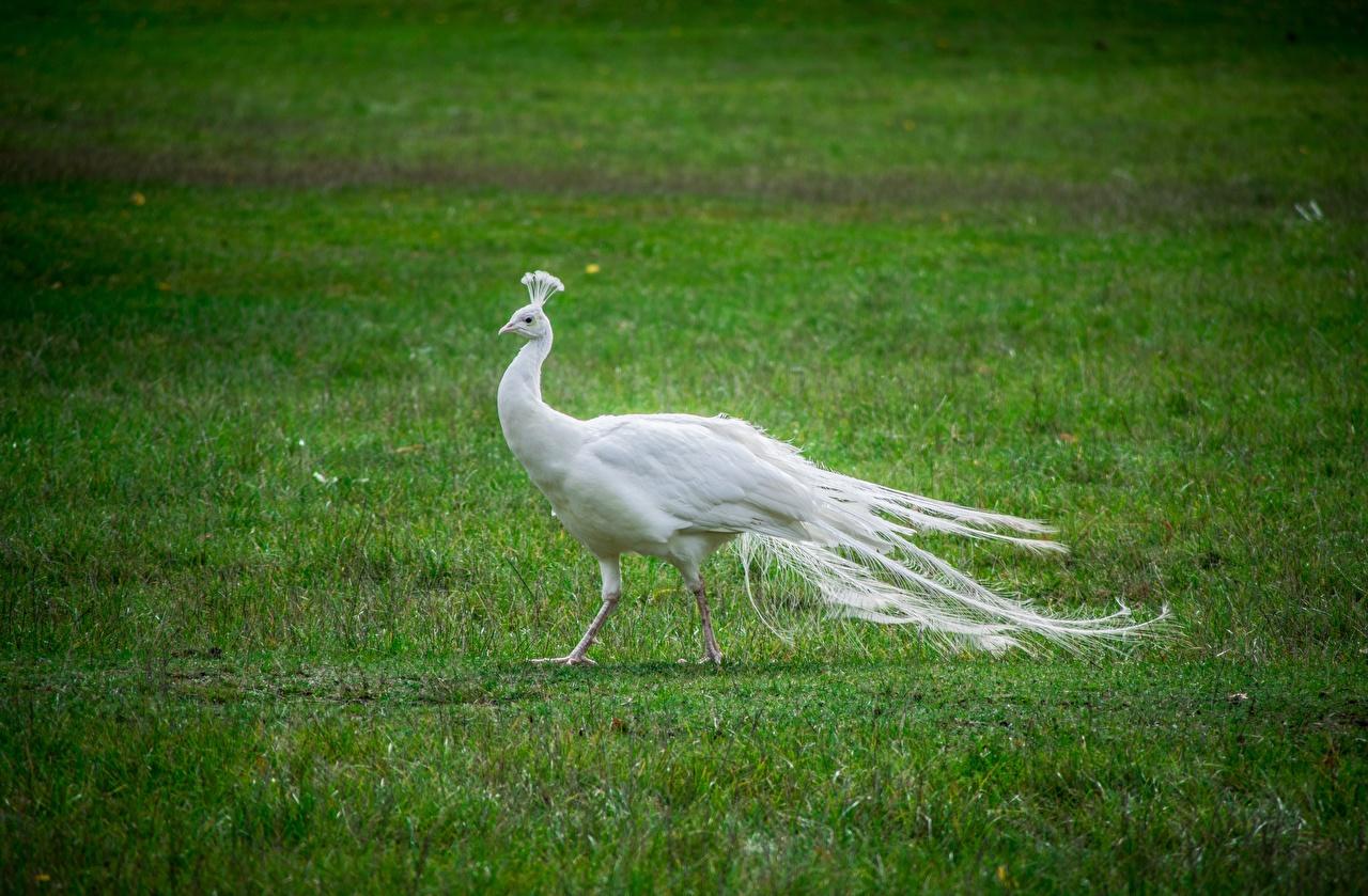 Фотография птица Павлины белая Трава Животные Птицы павлин белых белые Белый траве животное